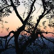 Olive tree silhouetted against Montelupo sunset